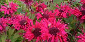 Monarda 'Bee Happy' Monarda